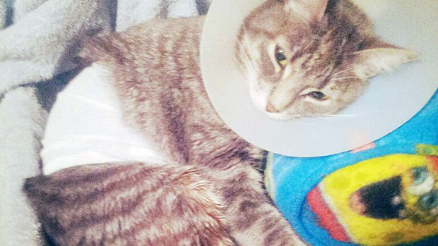 Cat Shot By Air Rifle is Saved by Its Belly Fat