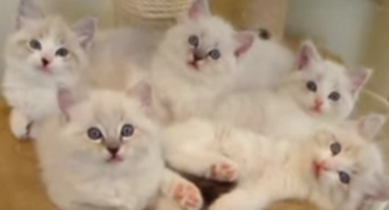 Cat Video of the Day:  Synchronized Ragdoll Kittens
