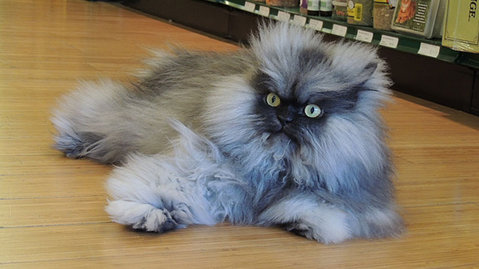 Colonel Meow Takes Guinness Record for Longest Fur on a Cat