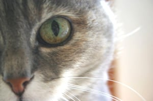 Common Eye Problems in Cats