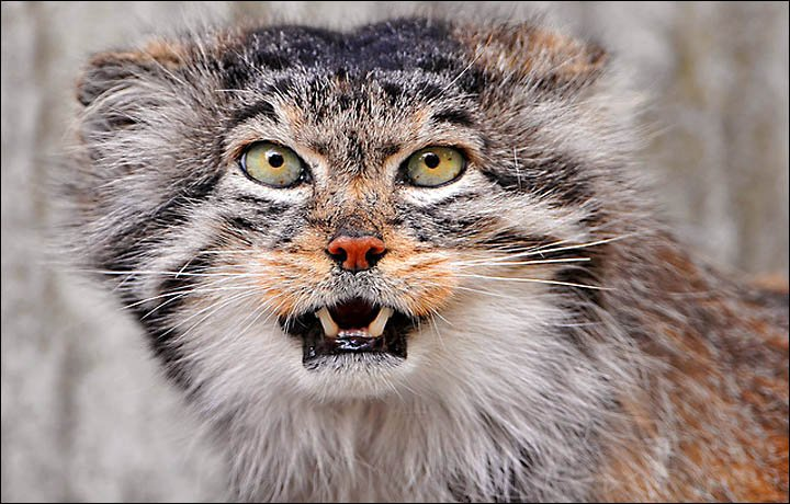 Help Save the World's Fluffiest Cat Known as the Manul