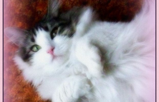 Sparkles The Norwegian Forest Cat