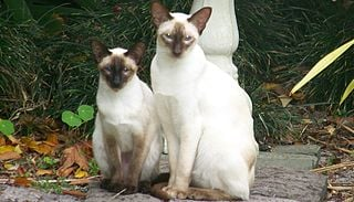 A Closer Look at Mammary Disease in Cats