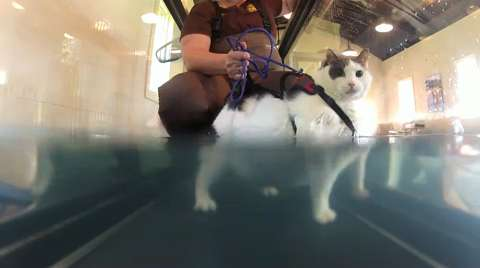 Buddha the Cat Uses Underwater Treadmilll To Lose Weight