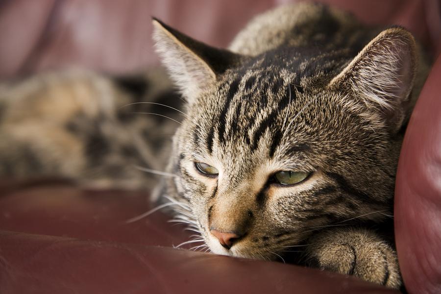 Is Feline Diabetes an Epidemic?