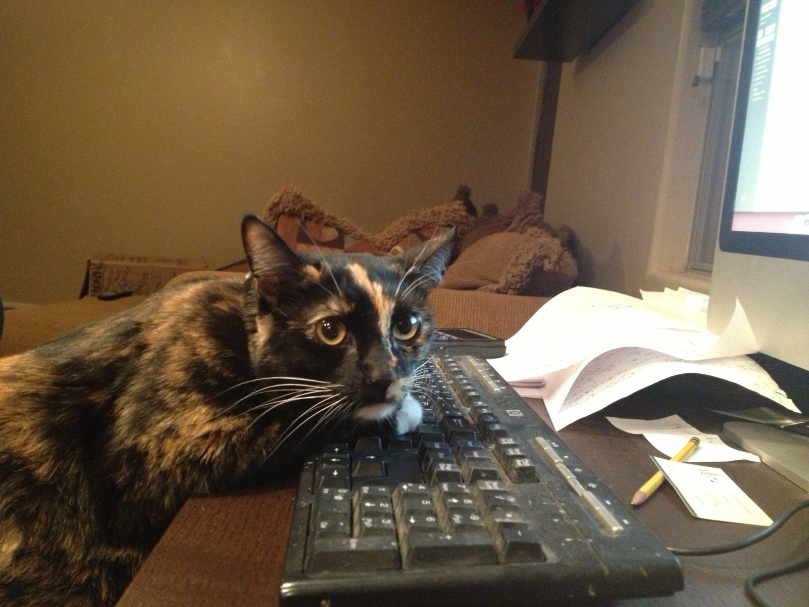 Lolita the Polydactyl Cat is Sneeking in some on-line Shopping