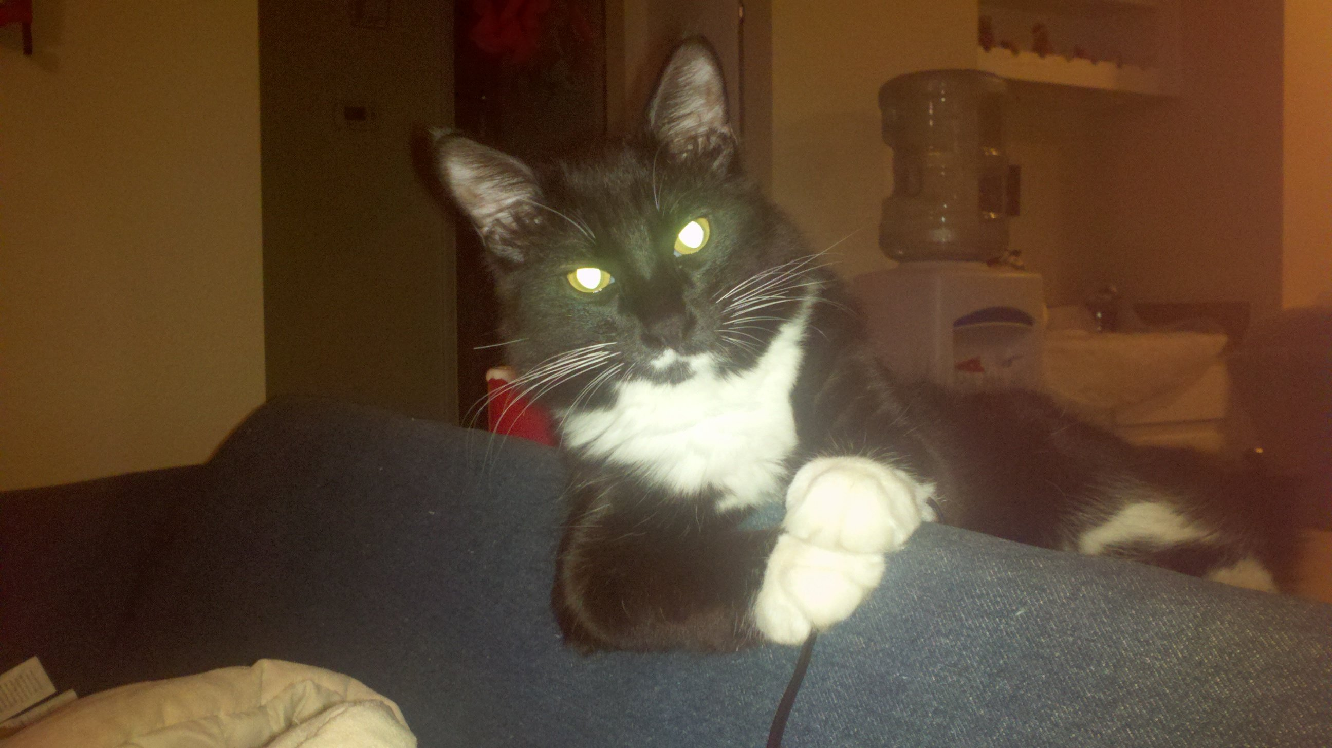 Gizmo the Tuxedo Kitty was Once Homeless