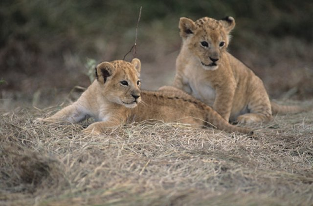 Two lion cubs, (Panthera leo), looking for mother, Kenya