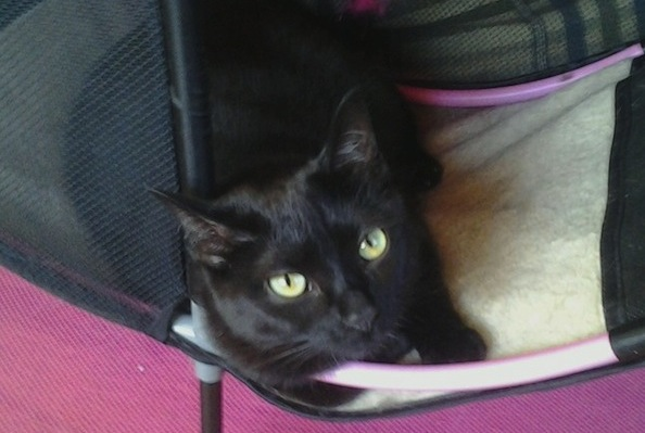 Rescue Cat Hitchhikes Her Way Into Loving Home