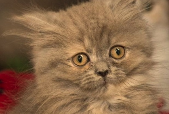 Dori the Persian Cat is Last of Rescued Pets to Find a New Home
