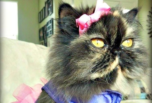 Smush-Faced Persian Rescue Cat Princess Katalina Goes From Rags to Riches
