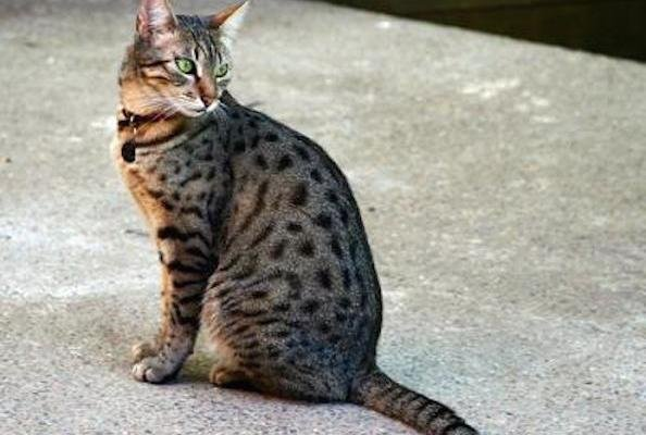 Five Things You Didn't Know About Egyptian Mau Cats