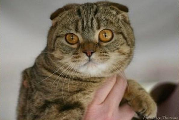 Five Things You Didn't Know About the Scottish Fold