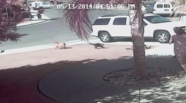 Incredible Heroic Cat Saves Little Boy From Attack by Vicious Dog