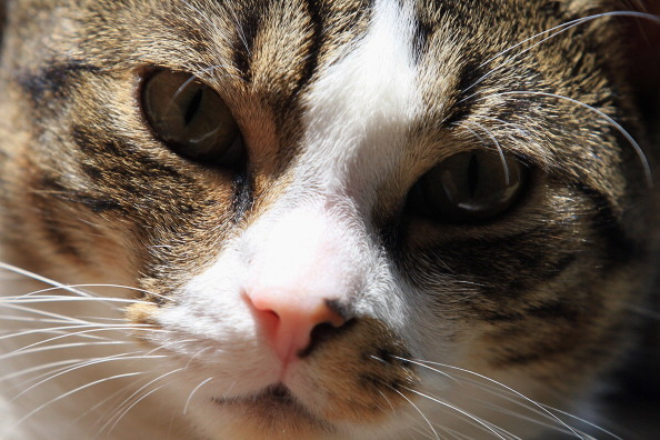 The Five Most Common Cat Skin Problems