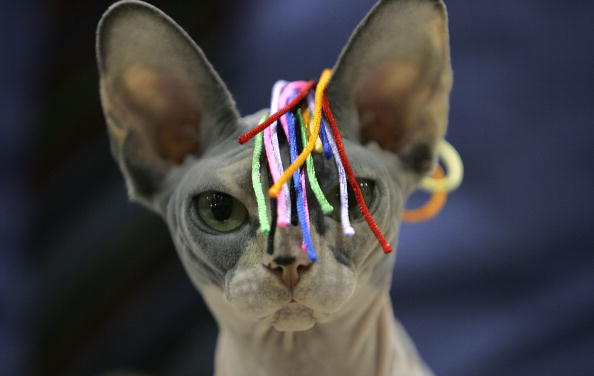 Five Odd Breeds of Hairless Cats
