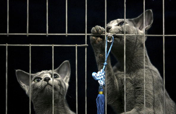 Five Things You Didn't Know About Russian Blue Cats
