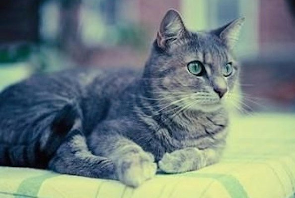 What You Need to Know About Domestic Shorthair Cats