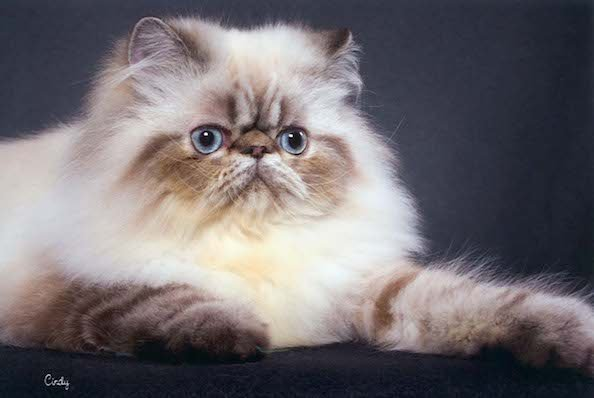 Five Things You Didn't Know About Himalayan Cats