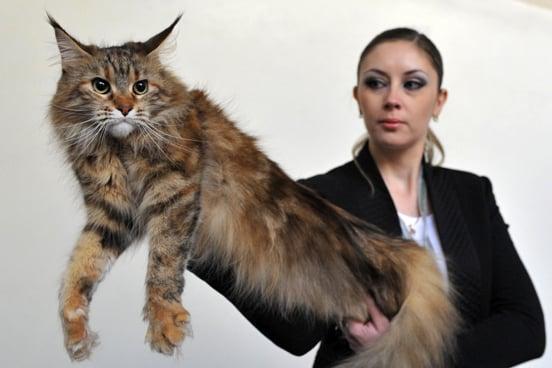 Maine Coon Weird Cat Breeds 7