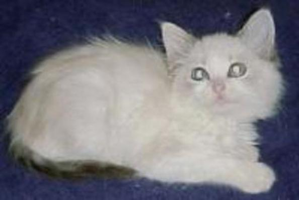 Five Things You Didn't Know About the Ragdoll Cat