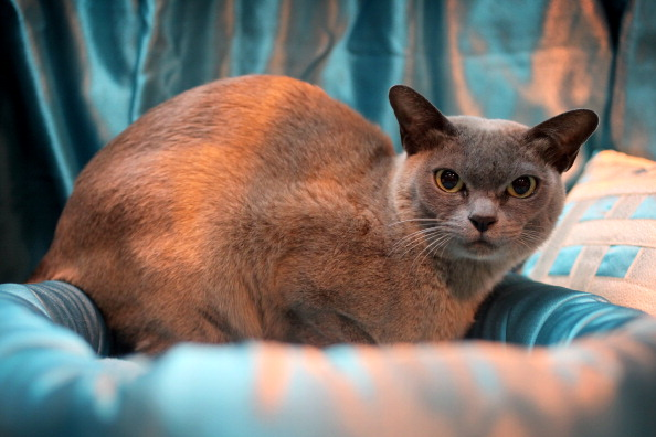 Five of the Most Talkative Cat Breeds