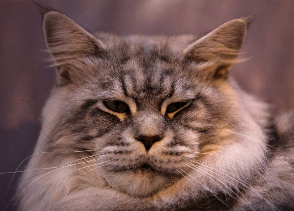 Five of the Most Loyal Cat Breeds