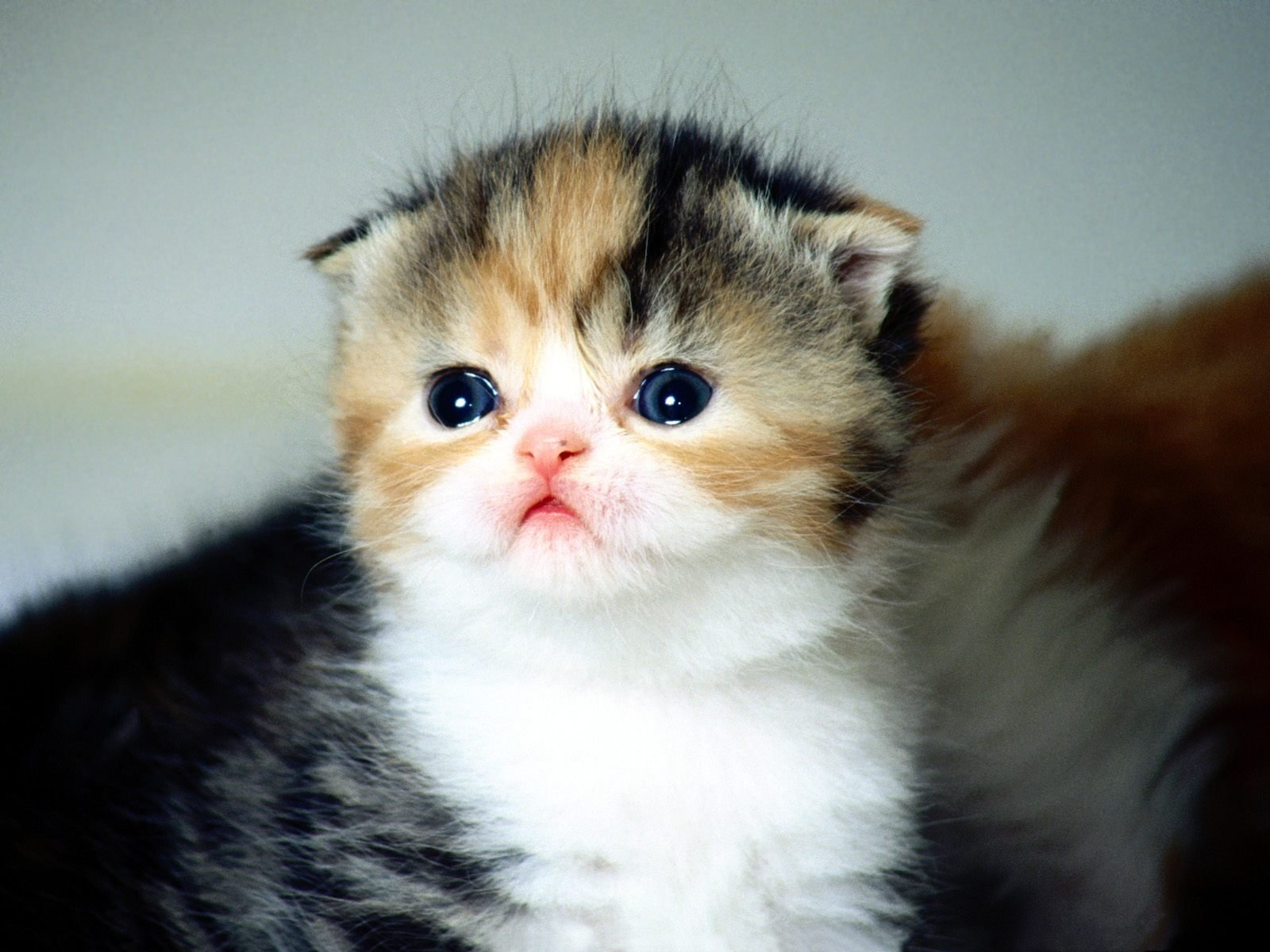 20 Scottish Fold Facts You Didn't Know
