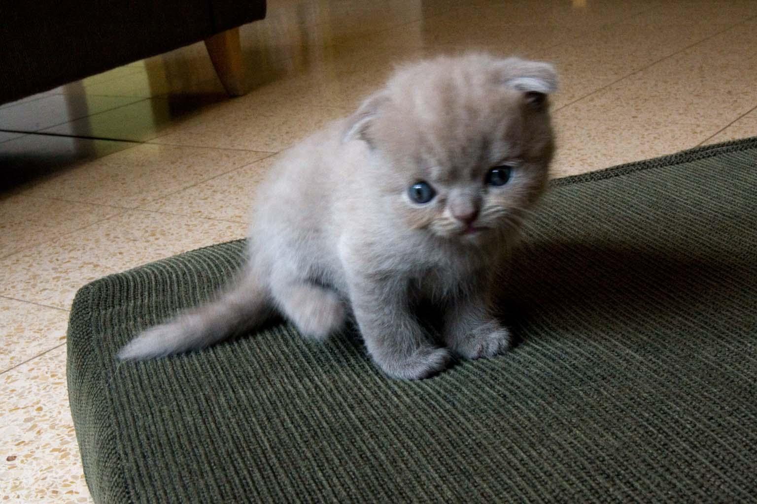 The Cutest Scottish Fold Kittens Videos of 2014