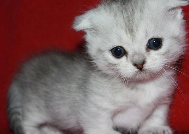 Five Things You Probably Didn't Know About the Munchkin Scottish  Fold-Kittentoob