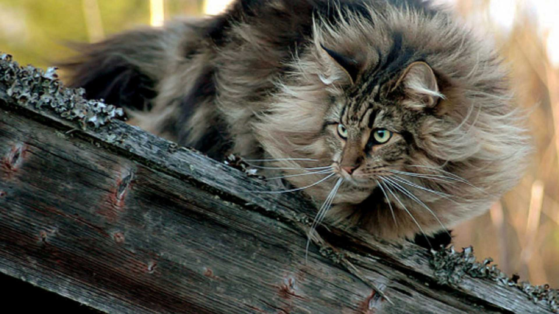 10 Reasons Norwegian Forest Cats are Great for Families ...