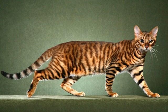 toyger-kittens