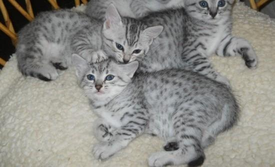 Egyptian Mau Kittens:  Adorable, Exotic, and Beautiful