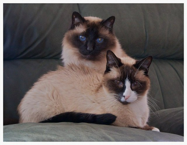 The Snowshoe Cat: A Super Rare Breed You Should Consider