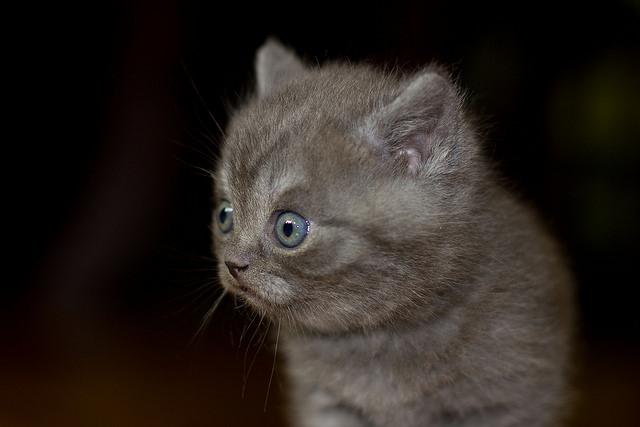 Helpful Holiday Tips on British Shorthair Kittens