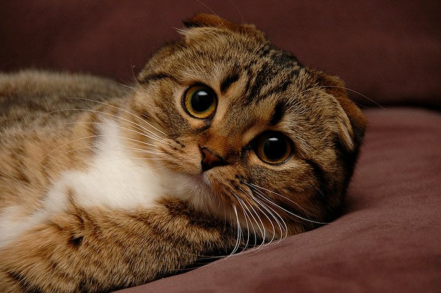Why Should you Consider a Scottish Fold Cat?