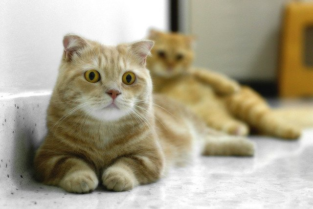 The Scottish Fold Munchkin Cat Is Making Some Noise in the Breeding World