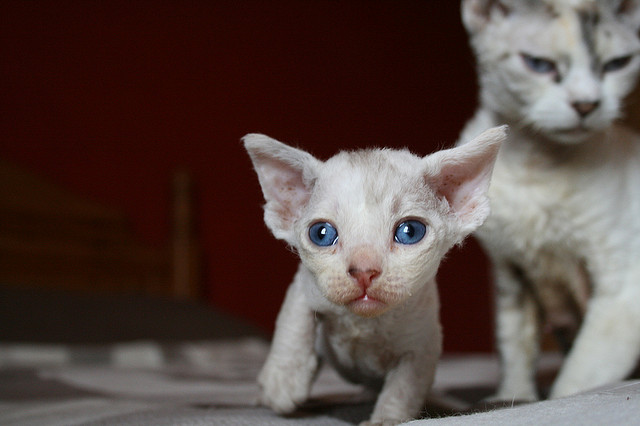 Devon Rex Kittens are Just Too Cute in this Video