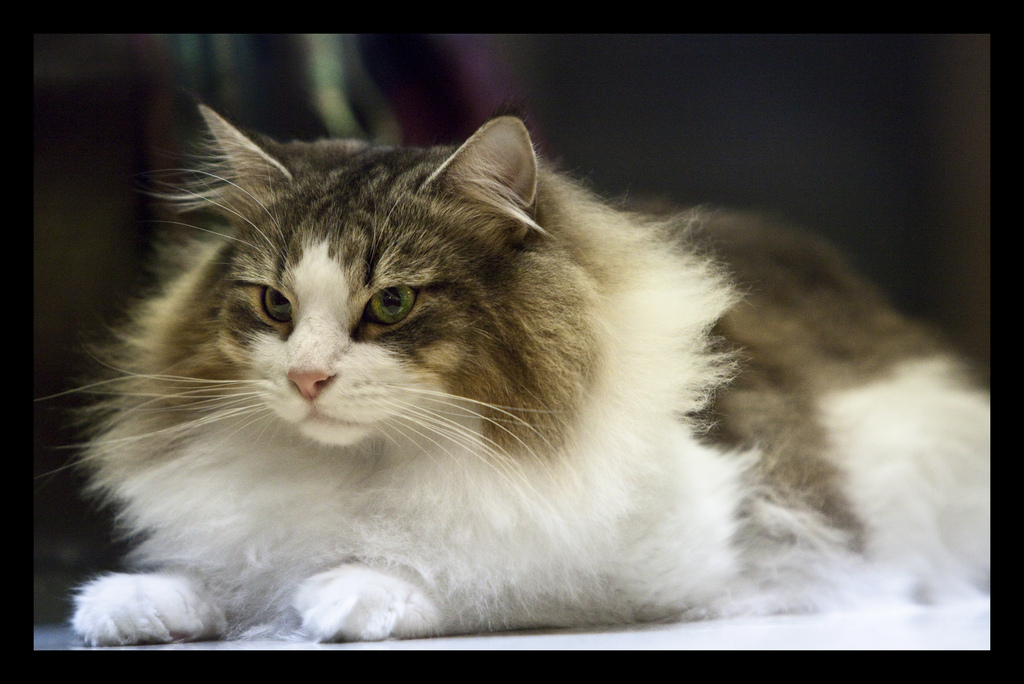 Norwegian Forest Cats: Born Hunters but Loving Pets