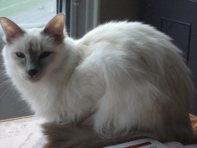 The Balinese Cat is One of The Smartest of All Feline Breeds