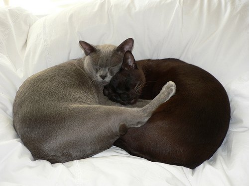 Burmese Cats Are Truly a Breed All of Their Own