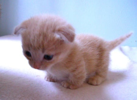 Adorable Scottish Fold Munchkin Kitten Meets New Family for the First Time
