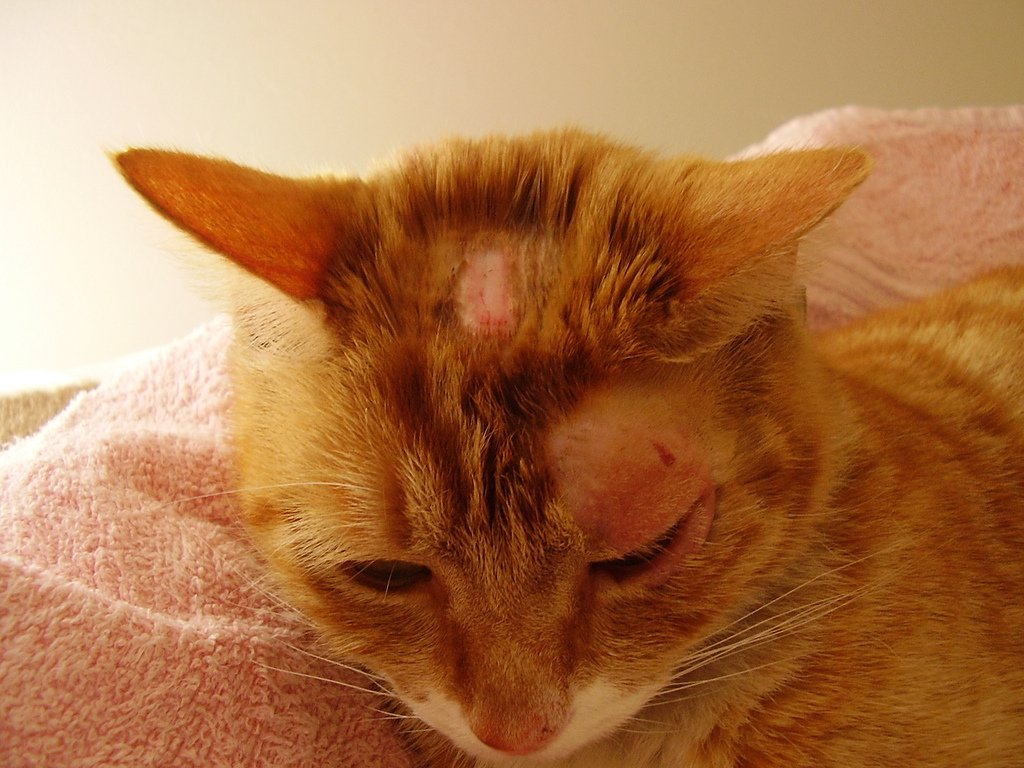 Ringworm in Cats Can Be A Serious Health Issue