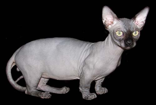 The Hairless Munchkin Cat: A Funny Looking But Lovable Cat