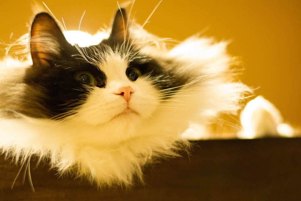 The Ragamuffin Cat: A Sturdy and Loving Breed