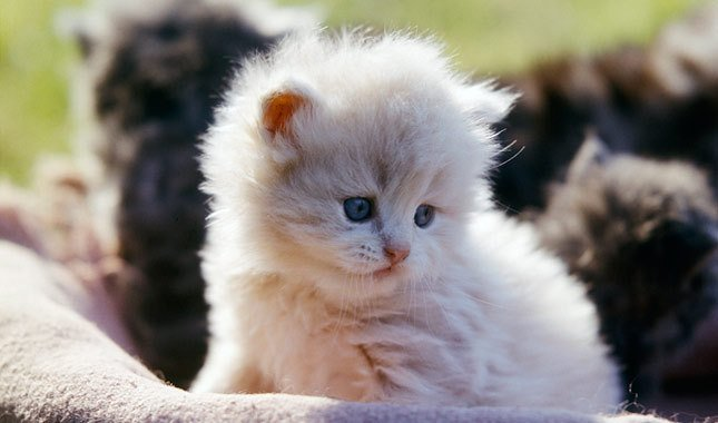 A Fair Persian Cat Price Might Be Higher Than You Think-Kittentoob
