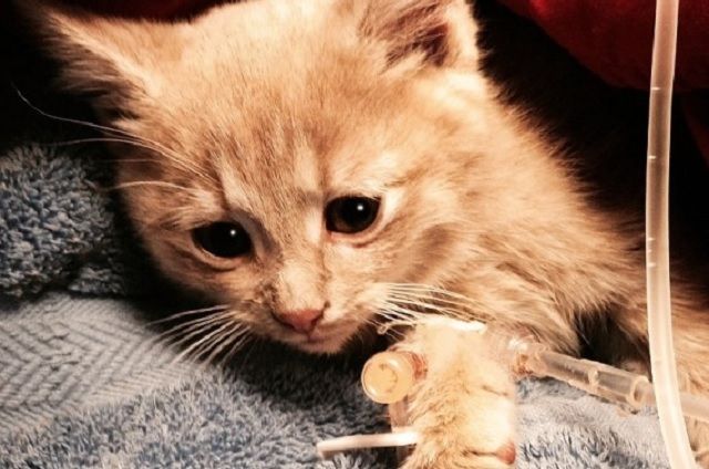 Elsa The Kitten Saved From Severe Hypothermia is Given A Fairy-Tale Ending