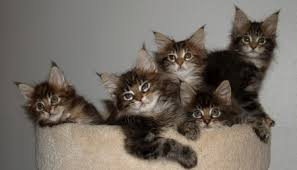 Looking to Adopt a Pet? Why not Rescue a Maine Coon Cat?