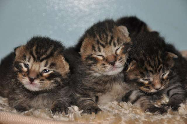 Is That A Micro Mini Tiger In That Basket?  No Those Are Toyger Kittens!