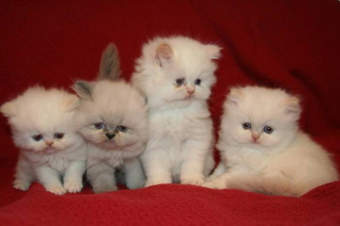 Think Twice Before you Buy A Teacup Persian Cat
